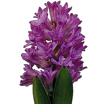 Hyacinth Lavender Purple