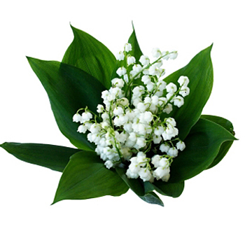 Lily of the Valley Flower - 10 Stems