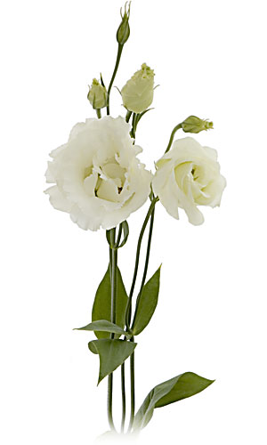 Lisianthus Flower Cream