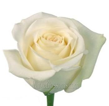 mount everest white rose - White Garden Rose