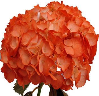 Orange Hydrangea Flower