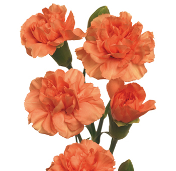 Orange Mini Carnations for Valentine's Day