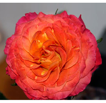 Sunset Garden Rose Orange Flower