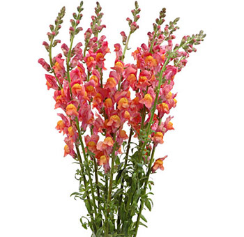 Orange Snapdragon Flower