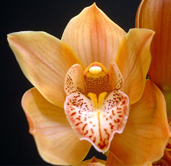 Peach Cymbidium Orchid Clear Lip