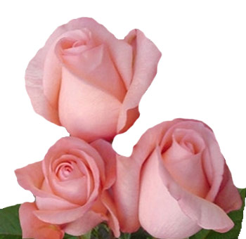 Peckoubo Peach Pink Rose