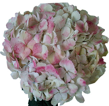 Pink Antique Hydrangeas