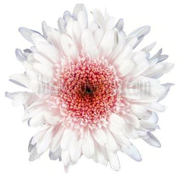 Bulk Pink Cremon Chrysanthemum Wedding Flower At Wholesale