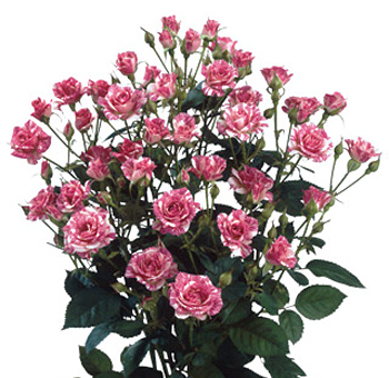Bi-Color Spray Roses White Pink