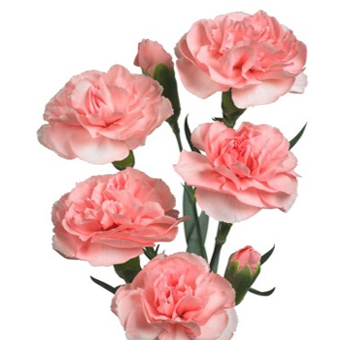Pink Spray Carnation Flowers