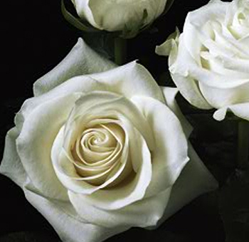 Polar Star Wedding Roses