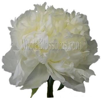 Premium White Peony Flowers
