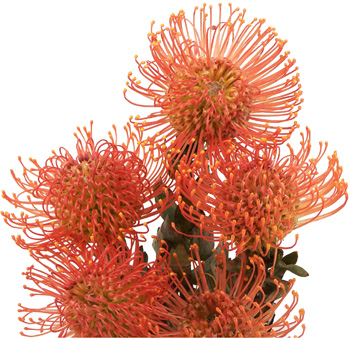 Protea Pincushion Orange Flower