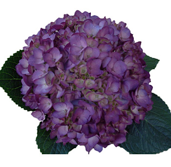 Hydrangea Flower Purple Tinted
