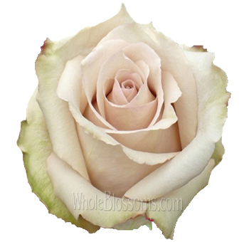 Quicksand Wedding Rose