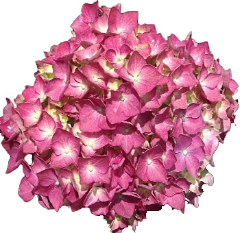 Elite Raspberry Hydrangea Flower