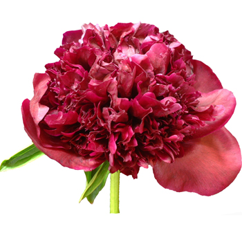 Peonies Flower Dark Red