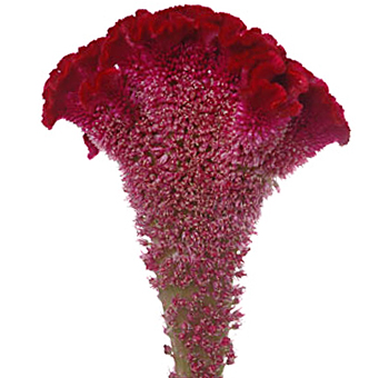 Red Celosia Cockscomb Flower
