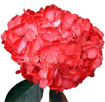Hydrangea Red Tinted Flower