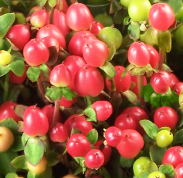 Red Hypericum Berry Flowers