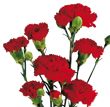 Red Mini Carnations for Valentine's Day
