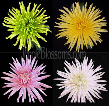 Spider Mum - Assorted Anastasia Flower
