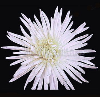 White Spider Mum Anastasia Flower
