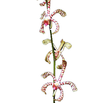 Tiger Tail Mokara Orchid