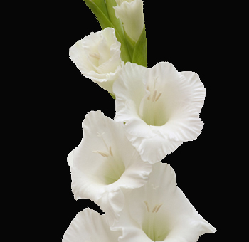 White Gladiolus Wedding Flower