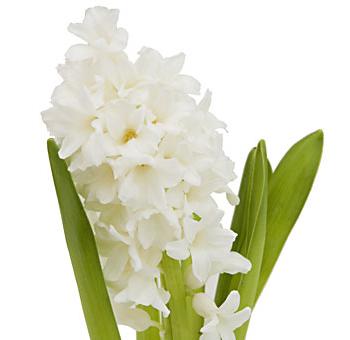 Buy Wholesale White Hyacinth Diy Wedding Flowers