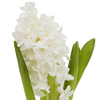 White Hyacinth Flower