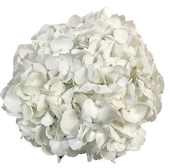 White Jumbo Hydrangea Flower