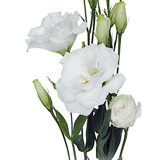 White Lisianthus Flower
