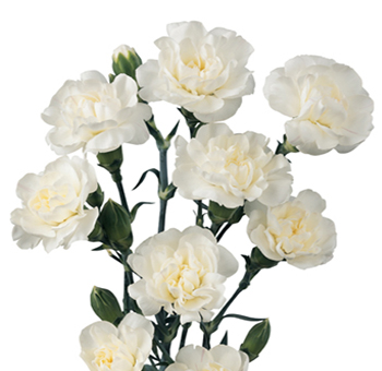 White Mini Carnations for Valentine's Day