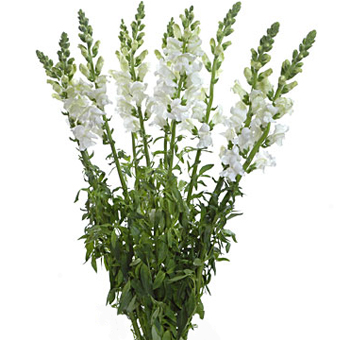 White Snapdragon Flowers