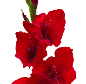 Red Gladiolus Flower