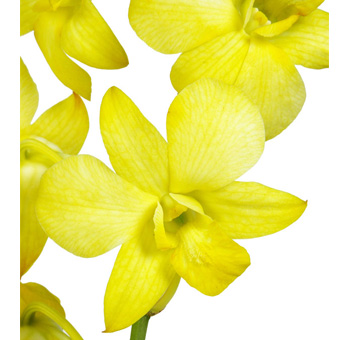 Yellow Dyed Dendrobium Orchid
