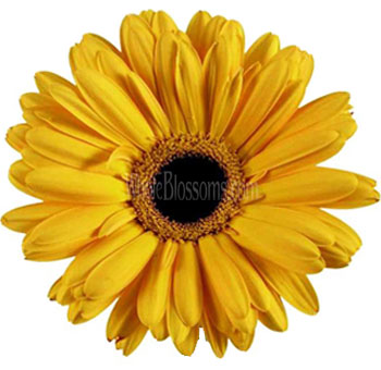 Yellow Gerbera Flowers | Dark Center