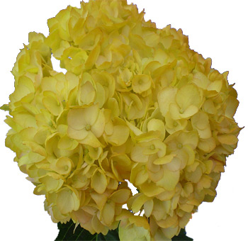 Yellow Airbrushed Premium Hydrangea Flower