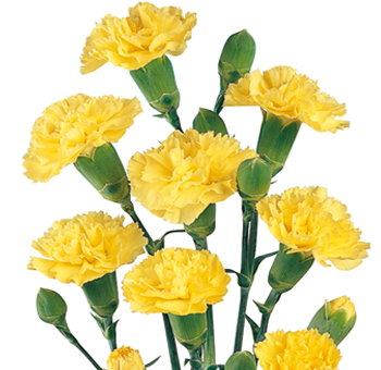 Yellow Mini Carnations for Valentine's Day