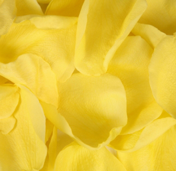 Valentine's Day Yellow Rose Petals
