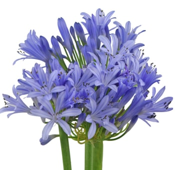 Agapanthus Assorted Flowers