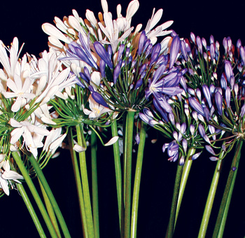 Wholesale Agapanthus