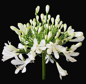 Agapanthus White Flower