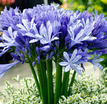Agapanthus Flowers Blue Purple