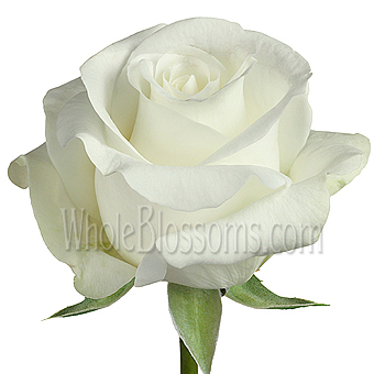 Buy fresh cut bulk akito white rose akito white rose mightylinksfo