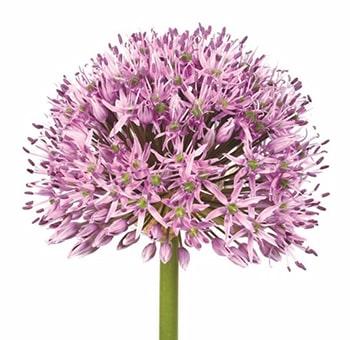 Wholesale Lavender Wedding Flowers & Bouquet