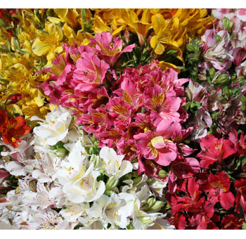 Alstroemeria Flowers Assorted Grower's Choice