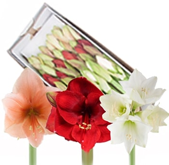 Amaryllis Assorted Flowers