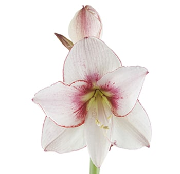 Amaryllis Bicolor White Dark Pink Flowers